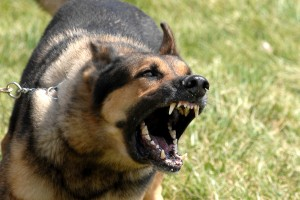 Military_dog_barking-300x200