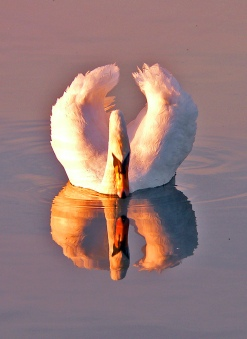 reflection-swan-welsh-841585-o